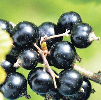 Тонкости обработки черной смородины – поэтапное руководство