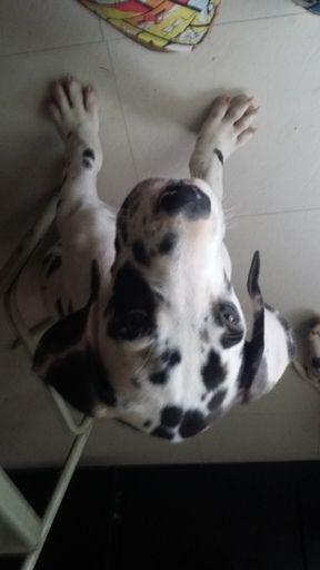 Great Dane Puppy For Sale In Saint Louis Mo Adn 36424 On