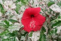 Variegated Chinese Hibiscus