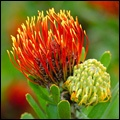 Pincushion protea near Stilbaai, Western Cape
