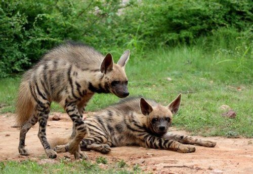 The striped hyena expanded its range from Africa across the Middle East to India.