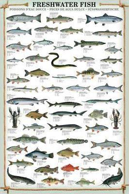 FRESHWATER FISH Wall Chart Poster - 53 Species - Fishing Reference Print - available at www.sportspostewarehouse.com