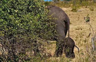 """Foto: """"El tamaño importa ..."""" El elefante africano es el mayor animal terrestre que vive.  El cuidado amoroso tierno prodigado en bebés elefantes es uno de los más entrañable característica de la especie.  Los terneros lo suficientemente pequeños para pasar por debajo de la madre (primer año) permanecen en contacto consant.  Peso al nacer c.  265 lb / 120 kg.  Los elefantes africanos (Loxodonta africana), el Parque Nacional de Chobe, Botswana, África © Konstantinos Arvanitopoulos…"""