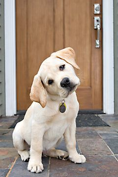 """The first look your puppy gives you when you ask for a simple command """"you want me to do what?."""""""