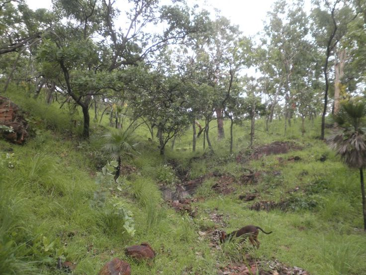 A gully in the rainy hills. Photographed during my Xmas break 2011. Low Xanothostemon paradoxus trees, and the trunk of a very thick (old) Eucalyptus dichromophloia tree in the middle distance. The dog-person is called Marla.
