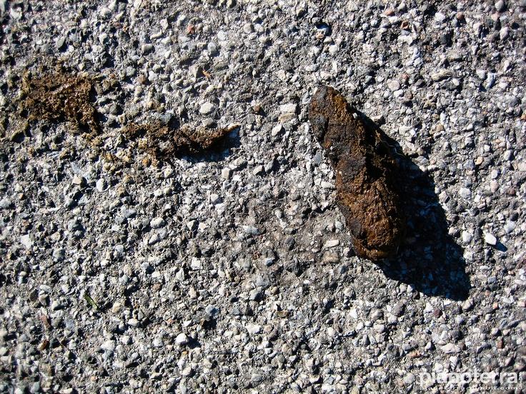 Dog shit on the asphalt. Varese.