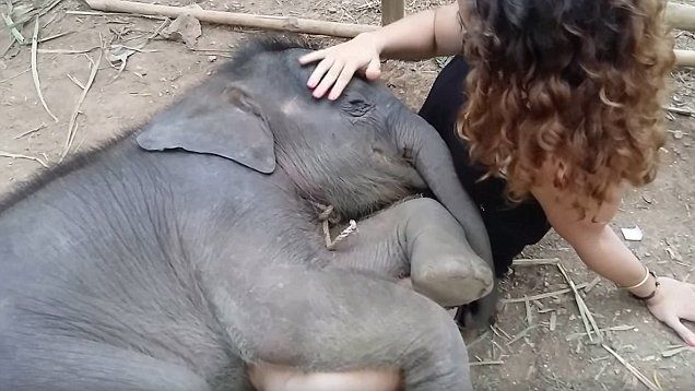 Heartwarming video of girl rubbing and humming to sleeping baby elephant at Chai Lai Orchid in Thailand.