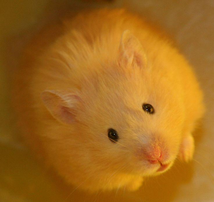 Teddy Bear Hamster. How cute is that!