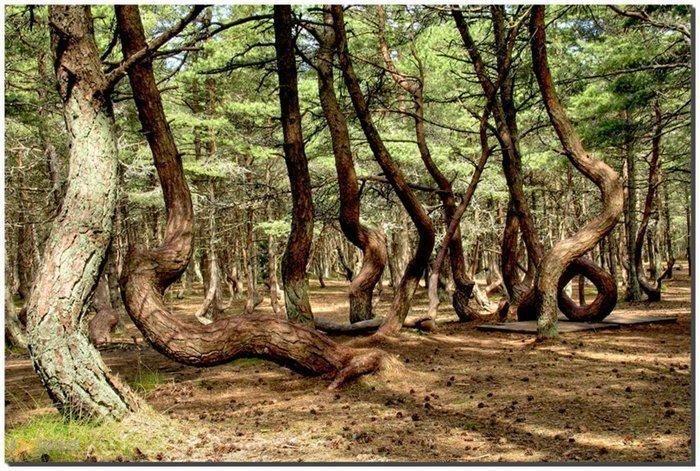 Танцующий лес – #Россия #Калининградская_область (#RU_KGD) Объект Национального парка «Куршская коса» http://ru.esosedi.org/RU/KGD/8754971/tantsuyuschiy_les/