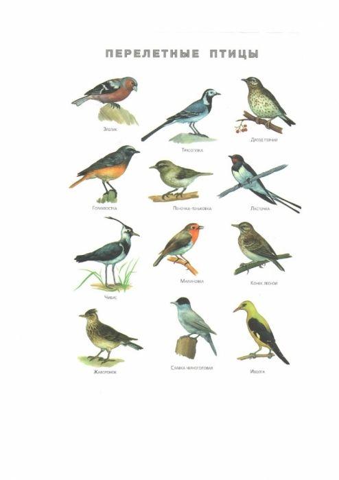 перелетные птицы казахстана с картинками мокрых маек
