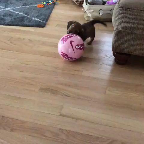 Cute Dachshund Puppy Playing