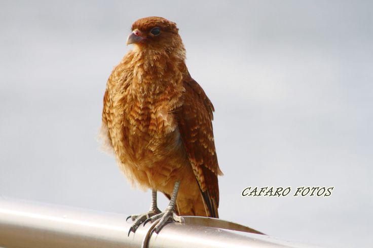 Chimango. Ushuaia