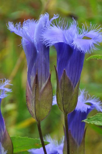 Fringed Gentian. Note: Gentianopsis crinita, native to Eastern US and Canada.  S...