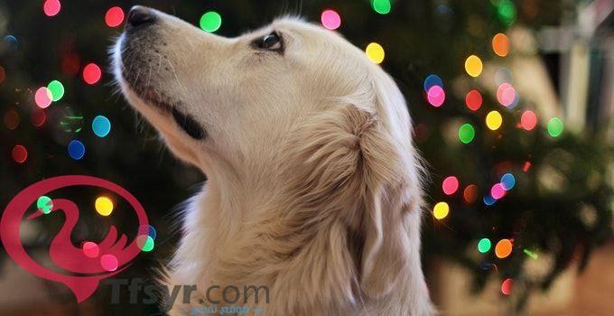 الكلب فى المنام لابن سيرين و الحلم بهجوم الكلاب ومعنى الكلاب البيضاء فى المنام للعزباء وهل حلم جري الكلاب ورائي شر وت Golden Retriever Free Books Download Dogs