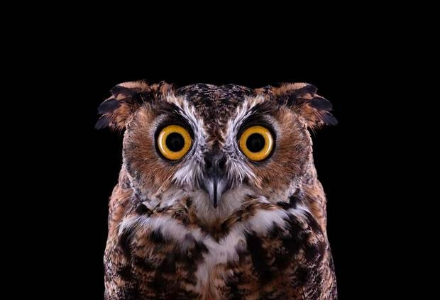 Great Horned Owl portrait - part of the Affinity collection by Brad Wilson - The Independent