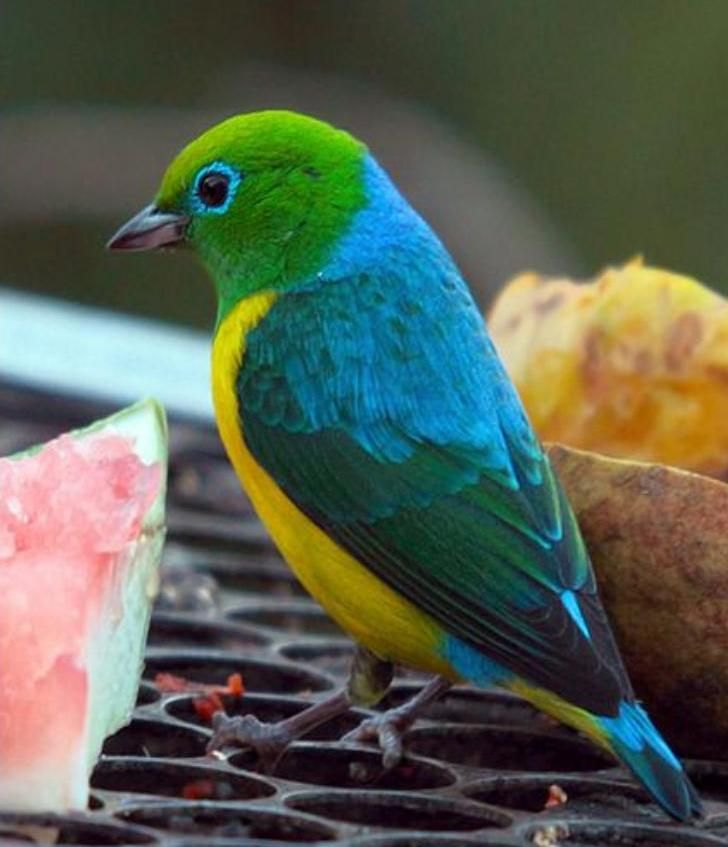 The blue-naped chlorophonia is a colourful South American species of bird in the family Fringillidae: Aves multicolores | Mascotas [Multicolored birds | Pets]