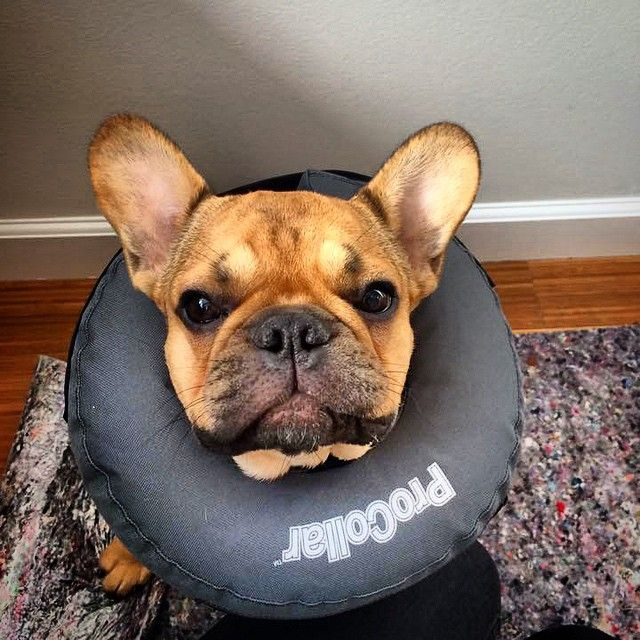 Eddi er igang med genoptræning af hans ben og rigtig god bedring her fra til Eddi og hans familie. #potebox #poter #pote #hund #hunde #hjælp #førstehjælp #franskbulldog #familie #flotte #flot #bulldog #box #boks #glad #forløb #familiehund