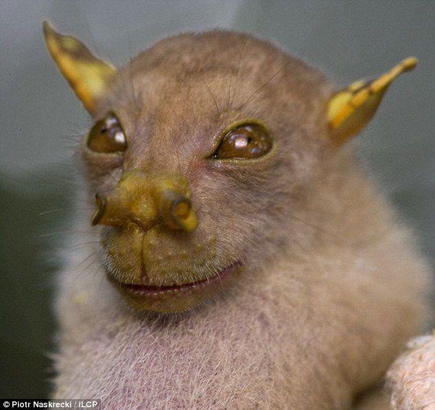 Tube-Nosed Bat, discovered in Papua, New Guinea: Jedi Master?  #Bat #New_Guinea