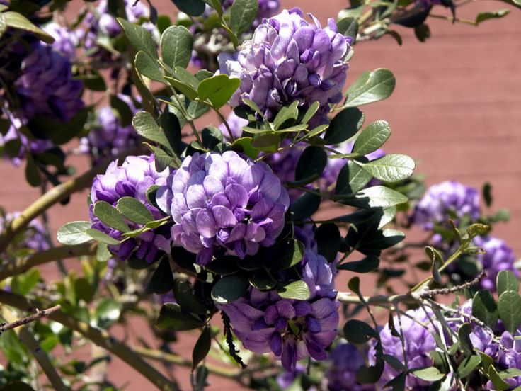 Texas mountain laurels form in great purple clusters that for Low maintenance desert plants