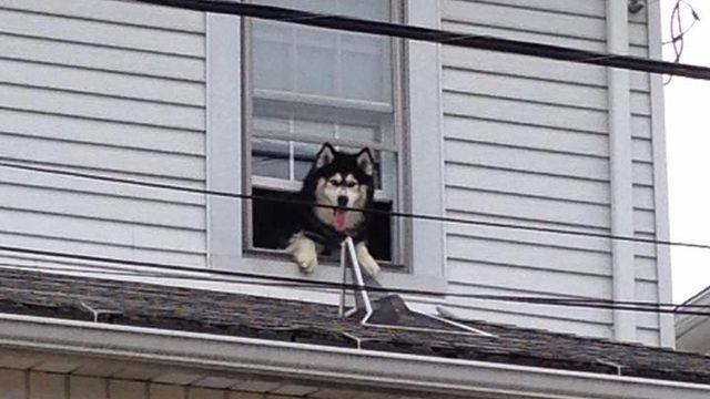 Siberian Husky playing games with the local firefighters:)