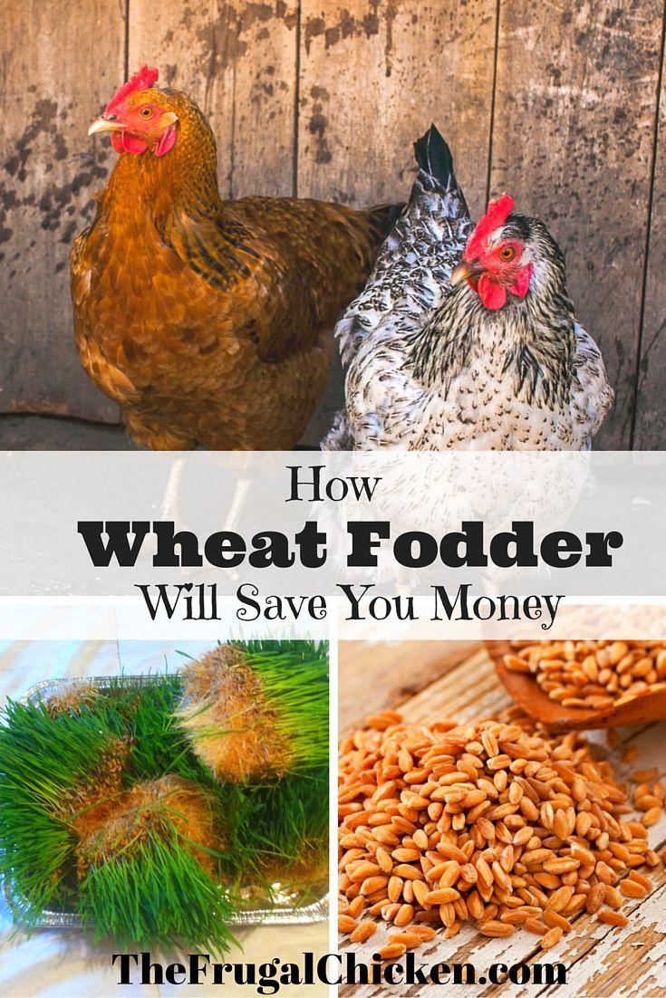 Wheat fodder is easy to grow and means healthier hens (and saves money!) My hens love it!