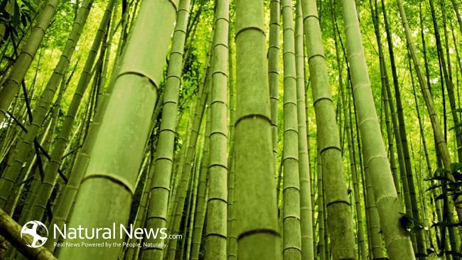 Asian countries have been using bamboo charcoal forthousands of yearsto purify both air and water. It's also used as medicine to remove poisons from the body, even today.  #bamboo #health #cleanair #cleanwater