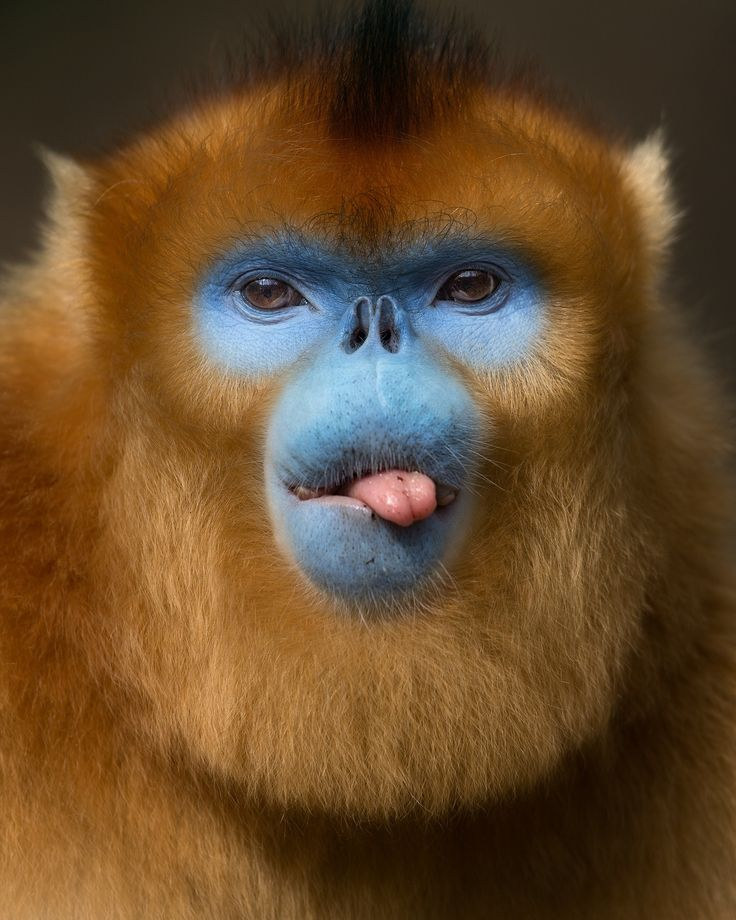 Golden monkey from the mountains of China - Golden snub-nosed monkey possibly fed up with that photographer getting in his face all the time. Well, actually most of my portraits of this rare and endangered primate are taken at a distance of less than 5 meters, and they really did not seem to mind, which made the days we spent in their company a really special and peaceful experience. Qinling Mountains, Shaanxi, China.