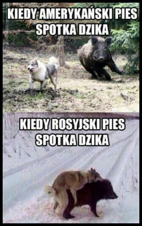 When American dog mets a Wolf hog; when Russian dog mets a wild hog
