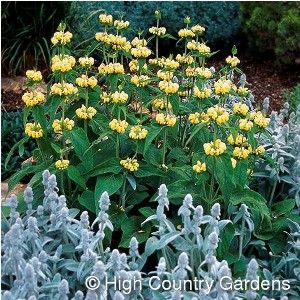 "36"" x 20"" wide, (cutting/seed propagated). This Mediterranean species, native to the mountains of Syria, is admired for both its unusual whorls of soft yellow flowers and its large olive-green leaves. Hardy Jerusalem Sage has proven to be quite cold tolerant. A very tough and easy-to-grow plant, Phlomis adds an eye catching structure to the garden, combining readily with other perennials with interesting foliage, like Gray Santolina. Zones 4-10. 5"" deep Premium pot."