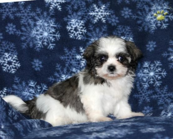 Glory - Shichon Puppy for Sale in Belleville, PA | Lancaster Puppies