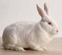 New Zealand Rabbit(Makes an excellent pet) Weight: 9 - 12 pounds. Body Type: Fur black, red or white. Body is medium sized and well rounded. Ear are medium-long and upright. One of the rabbit breeds often used in laboratories.