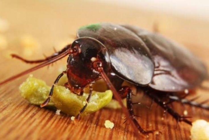 les 99 meilleures images du tableau insectes sur pinterest fait maison trucs et. Black Bedroom Furniture Sets. Home Design Ideas