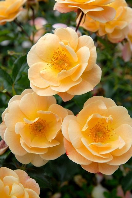 Rose Carpet 'Amber'