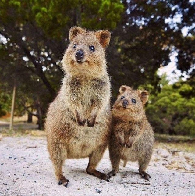 Welt verliebt sich in Quokka, Australien   – adorable* living