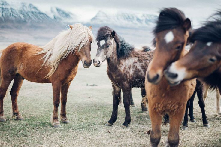 Travel to Iceland in Spring March April May June Icelandic horses