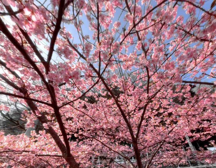 Early-blooming cherry tree in Okitsu-cho (Japan) by Bibouroku Tabito https://www.360cities.net/image/early-blooming-cherry-tree-in-okitsu-choshimizu-ward-shizuoka-city-2-japan