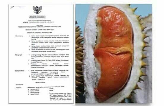Selamat Durian merah jenis balqis dan sunrise of java mendapat sertifikat hak milik banyuwangi dari kementerian pertanian.
