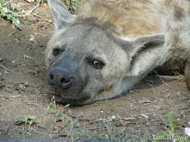 Tim Brown Tours | Durban Tours and Safaris  http://www.timbrowntours.com/  #Hyena