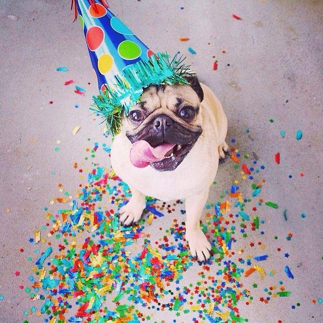 Привет прикольные, открытка с днем рождения мопса
