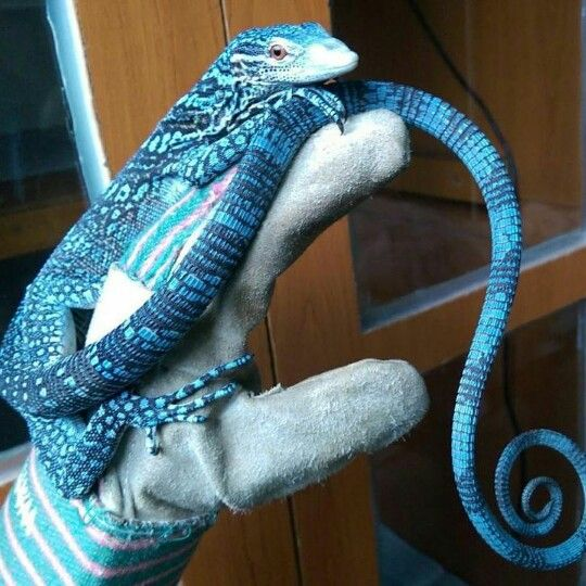 Wow.. Blue Tree Monitors have the lone tails of any species I know of. ♡