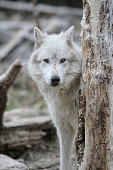 Wolf - photo by Chris Perry*