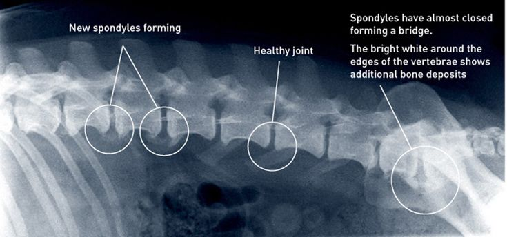 What is Spondylosis and how massage can help support a dog with this condition