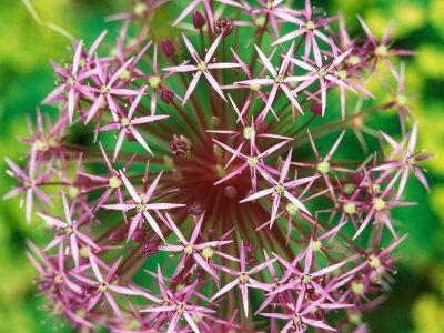 Allium Christophii  bulbe d'été à acheter à l'automne! fleur 20cm Ø, 1m hauteur