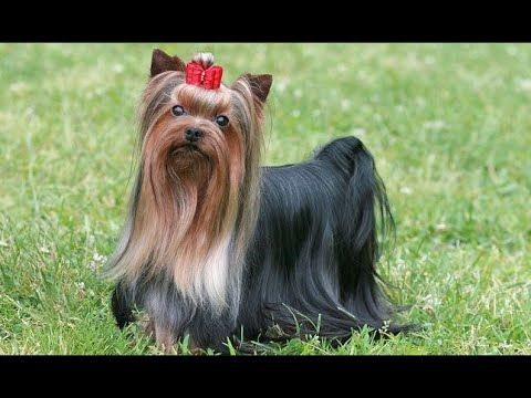 Yorkshire Terrier Dog Show 2016 WKC Westminster Kennel Club