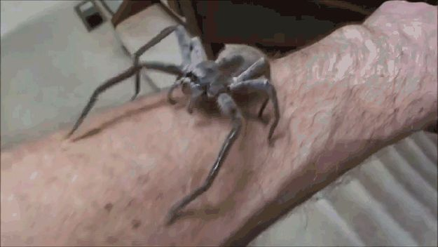 It's incredibly rare for a huntsman to bite a human - they generally only do if you're really bugging them, and even then the bite is mild and pretty much harmless. | 18 Reasons The Huntsman Spider Is Your New Best Friend