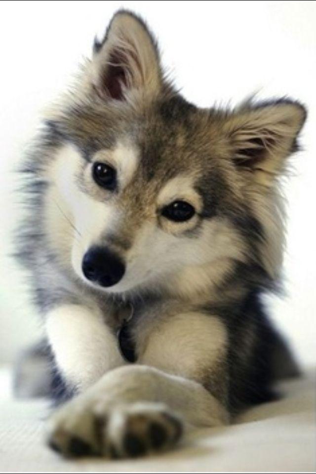 Pomeranian husky mix aka adorable and I need one