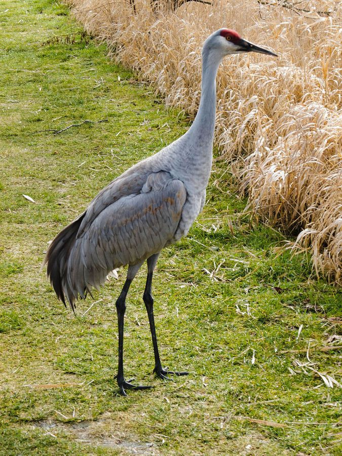 Image result for crane bird