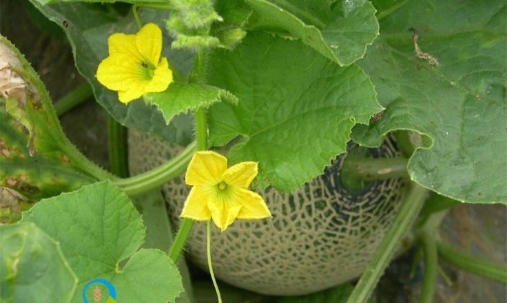 Καλλιέργεια Πεπονιού | Αγροσύμβουλος