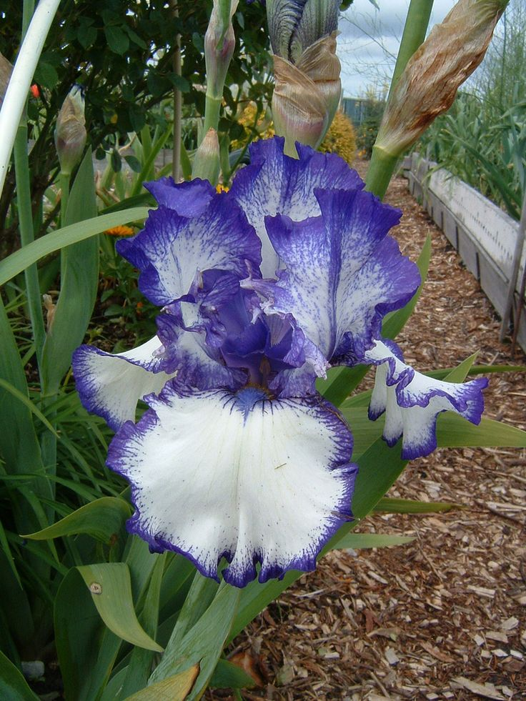 When your irises become overcrowded, it's time to divide and transplant iris tubers. Generally, iris plants are divided every 35 years. For information on how to divide and transplant correcting, read this article.