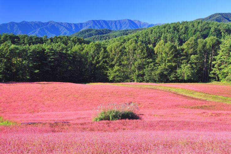9月中旬、畑一面に咲くこの花は、彼岸花やコスモスではなくそばの花である。 日本では珍しい赤そばの花が見られるのは長野県箕輪町にある赤そばの里で、「高嶺ルビー」という品種が4.2haという広大な面積で栽培されている。 高嶺ルビーとは、1987年に信州大学の教授がヒマラヤの標高3800mの場所から赤い花の咲くそばを日本に持ち帰り、品種改良を行ったもの。通常のそばより背丈が低く、収量は1/3程度。この高嶺ルビーで打ったそばは、広域農道を北に行ったそば処「留美庵」で味わうことが出来る。 情報スポット ■住所 長野県上伊那郡箕輪町中箕輪 箕輪町中箕輪上古田 ■営業期間9/16~1... #絶景 #Photos